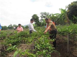 Bắc Giang trồng ba kích dưới tán cây lâm nghiệp