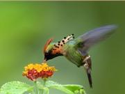 Chùm ảnh đẹp về chim ruồi Coquette