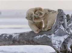 Khoảnh khắc tình cảm của anh em nhà gấu trắng