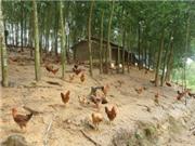 Tăng thu nhập nhờ nuôi gà thả dưới tán vườn caosu