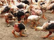 Đà Nẵng: Nghiên cứu nuôi thương phẩm gà Đông Tảo