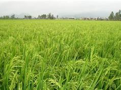 Bình Định nghiệm thu dự án ứng dụng nấm ký sinh để kiểm soát rầy nâu hại lúa