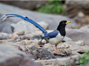 Chiêm ngưỡng vẻ đẹp của chim giẻ cùi ở môi trường tự nhiên