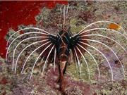 """Ngắm bộ vây cực """"độc"""" của cá Pterois Radiata"""