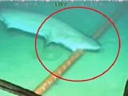Lý giải nguyên nhân cá mập thích cắn cáp quang