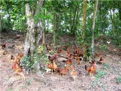 Thành triệu phú nhờ nuôi gà nòi thả lan trên núi