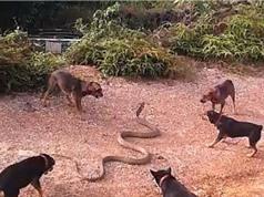 Clip: 5 chú chó kịch chiến với rắn hổ mang chúa