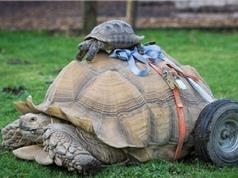 Rùa khổng lồ bị liệt chân vì giao phối quá độ