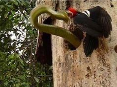 Clip: Chim gõ kiến kịch chiến với rắn độc khổng lồ