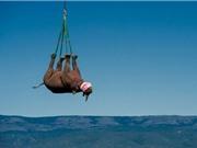 """Đàn tê giác """"bay"""" đến nơi ở mới để tránh bị săn trộm"""