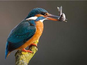 Chiếc mỏ ấn tượng của chim bói cá dải chàm