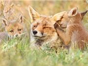 Chùm ảnh đẹp về cáo đỏ ở môi trường tự nhiên