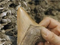 Cá mập khổng lồ tuyệt chủng vì kén ăn