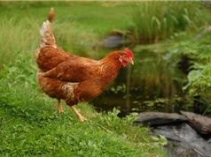 10 loài gà đẻ trứng nhiều nhất thế giới
