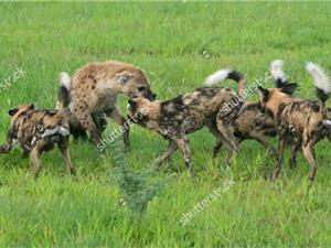 Clip: Chó hoang châu Phi hỗn chiến với linh cẩu