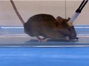 """Nghiên cứu biến chuột thành """"sát thủ máu lạnh"""""""