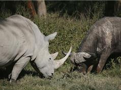 Clip: Trâu rừng húc nhau với tê giác
