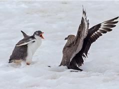 """Cánh cụt con đại chiến """"nảy lửa"""" với chim biển"""