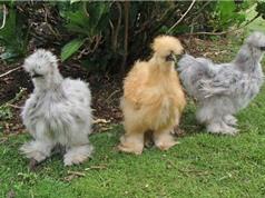 """Những giống gà có bề ngoài """"độc, lạ"""" nhất thế giới"""