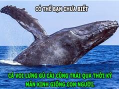 ĐỘC-LẠ: Cá voi cũng mãn kinh, bò ngủ mơ khi nằm