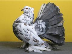 Ngắm bộ lông ấn tượng của bồ câu đuôi quạt Ấn Độ