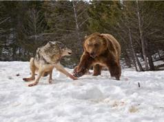 Gấu xám hung hăng cướp mồi của chó sói