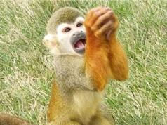 Khỉ chắp tay gào khóc xin thức ăn