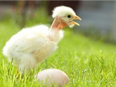 """Bộ lông """"độc, lạ"""" của gà cổ trụi"""