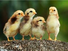 Chùm ảnh đẹp về những chú gà con