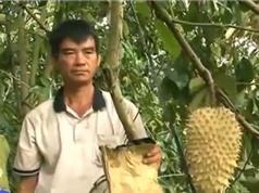 Quy trình trồng trái mãng cầu vàng đang được dân chuộng mua