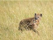 Nai sơ sinh chết thảm dưới nanh vuốt của bầy linh cẩu đói