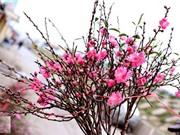 Bí quyết giữ hoa đào tươi lâu trong dịp Tết