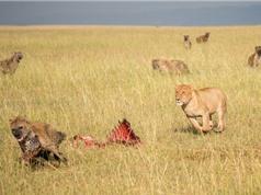 Linh cẩu cả gan cướp mồi của sư tử