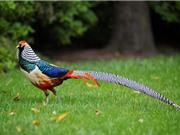 Ngắm loài gà đã bị tuyệt chủng ở môi trường tự nhiên