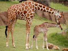 Chùm ảnh ấn tượng về tình mẫu tử thiêng liêng của các loài động vật