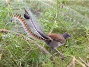 Chiêm ngưỡng loài chim tuyệt đẹp được in trên tiền xu Australia