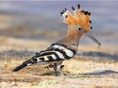 """Những loài chim có """"mái tóc"""" ấn tượng nhất thế giới"""