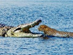 Clip: Cuộc chiến không cân sức giữa báo và cá sấu