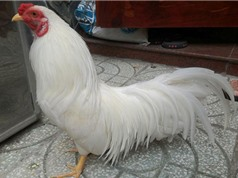 Bộ lông tuyệt đẹp của giống gà tre bản địa Việt Nam
