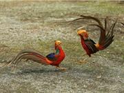 Chiêm ngưỡng loài chim có bộ lông bảy sắc cầu vồng