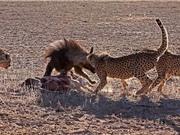 Clip: Cuộc chiến giành mồi giữa linh cẩu và báo