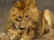 """Clip: Sư tử đực hạ sát báo săn trong """"vài nốt nhạc"""""""