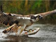 Cận cảnh màn bắt cá ngoạn mục của đại bàng
