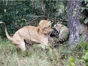Clip: Linh cẩu cứu báo khỏi nanh vuốt của sư tử