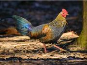 Bộ lông cực độc của giống gà đặc hữu Ấn Độ