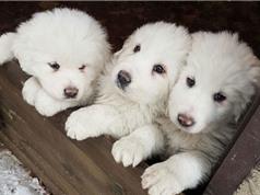 3 chú chó con sống sót sau 5 ngày lở tuyết ở Italia