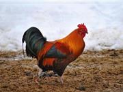 Những lý do không thể coi thường loài gà