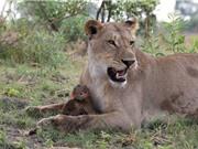 Kỳ lạ khỉ đầu chó con trở thành thú cưng của sư tử cái