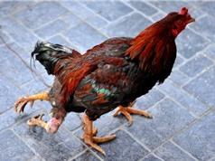 Những con gà đột biến quái dị nhất quả đất