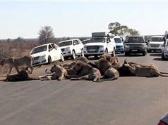 Tắc nghẽn giao thông vì đàn sư tử ăn trưa giữa đường